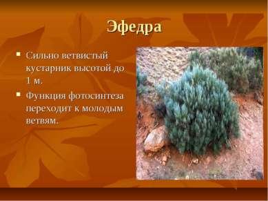 Эфедра Сильно ветвистый кустарник высотой до 1 м. Функция фотосинтеза переход...