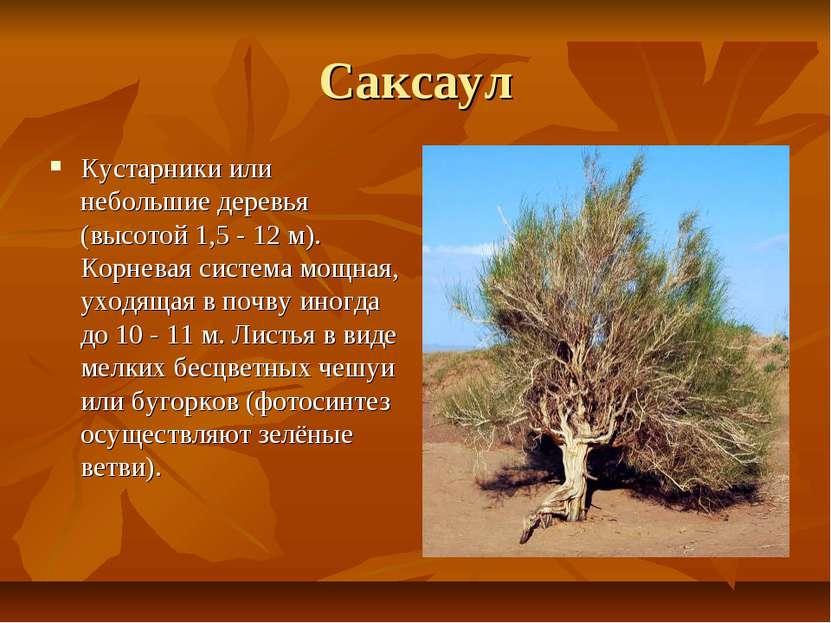 Саксаул Кустарники или небольшие деревья (высотой 1,5 - 12 м). Корневая систе...