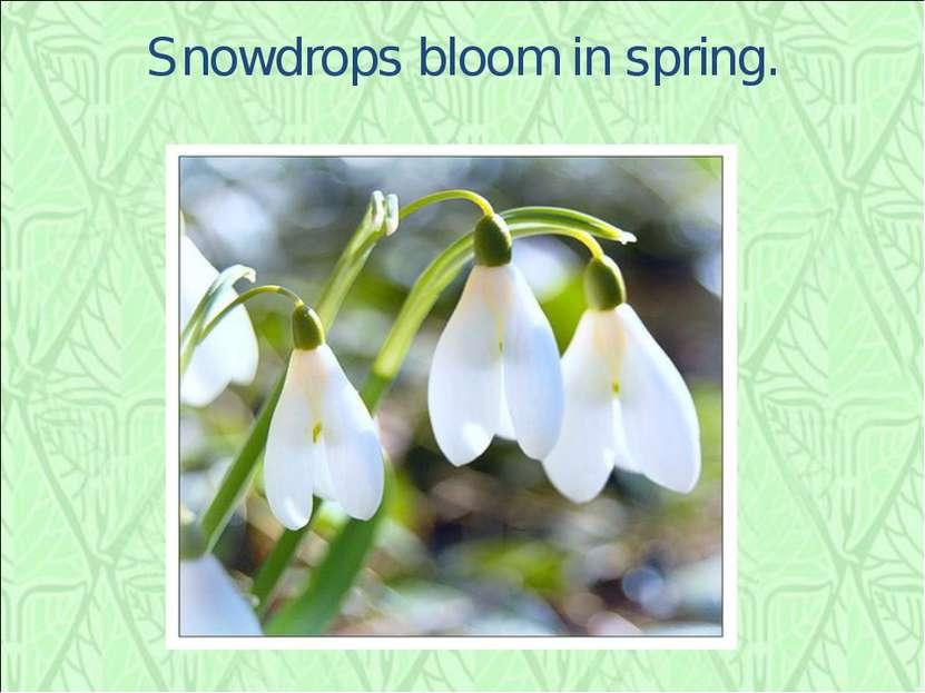 Snowdrops bloom in spring.