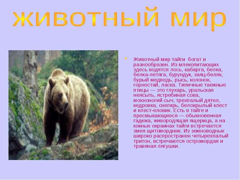 Животный мир тайги богат и разнообразен. Из млекопитающих здесь водятся лось,...