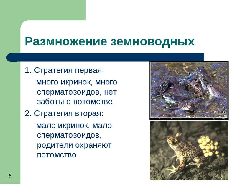 Особенности органов размножения у земноводных