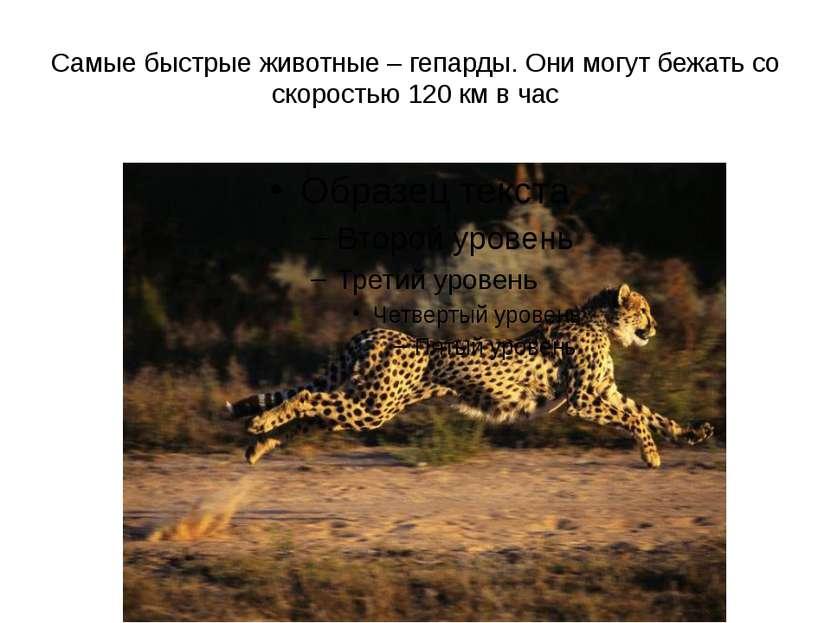Самые быстрые животные – гепарды. Они могут бежать со скоростью 120 км в час