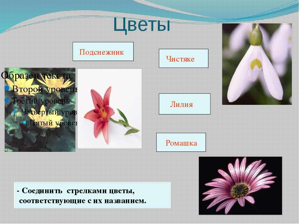Цветы - Соединить стрелками цветы, соответствующие с их названием. Подснежник...