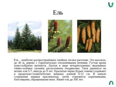 Ель Ель – наиболее распространённое хвойное лесное растение. Это высокое, до ...
