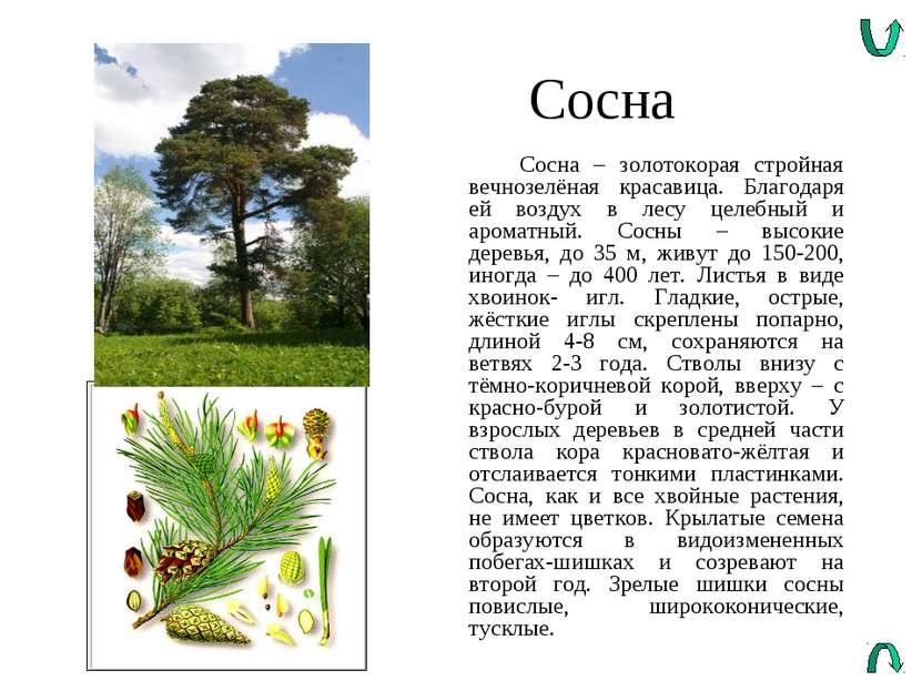 Сосна Сосна – золотокорая стройная вечнозелёная красавица. Благодаря ей возду...