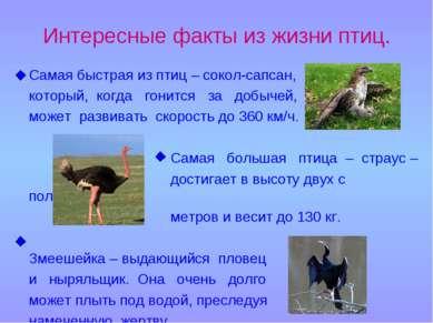 Интересные факты из жизни птиц. Самая быстрая из птиц – сокол-сапсан, который...