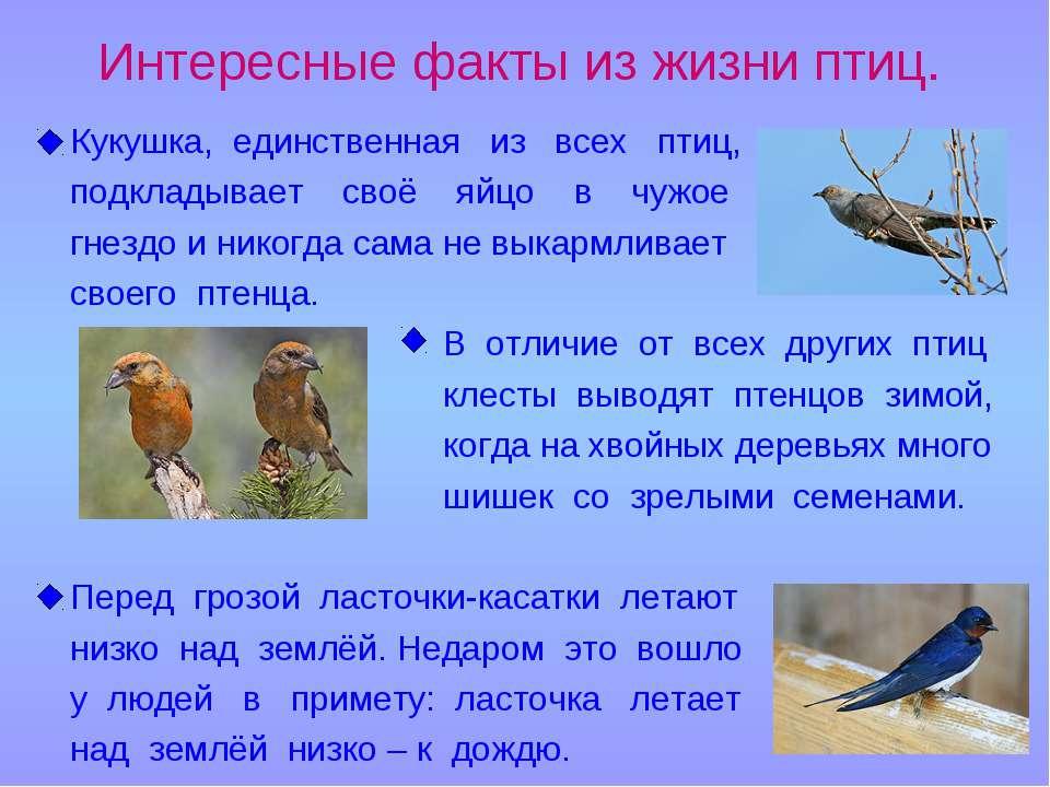 Интересные факты из жизни птиц. Кукушка, единственная из всех птиц, подкладыв...