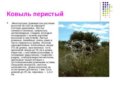 Ковыль перистый Многолетнее травянистое растение высотой 30-100 см образует п...