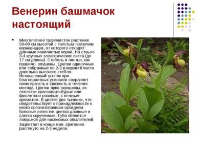 Венерин башмачок настоящий Многолетнее травянистое растение 50-80 см высотой ...