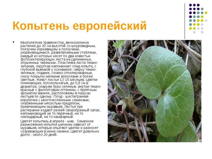 Копытень европейский Многолетнее травянистое, вечнозеленое растение до 30 см ...