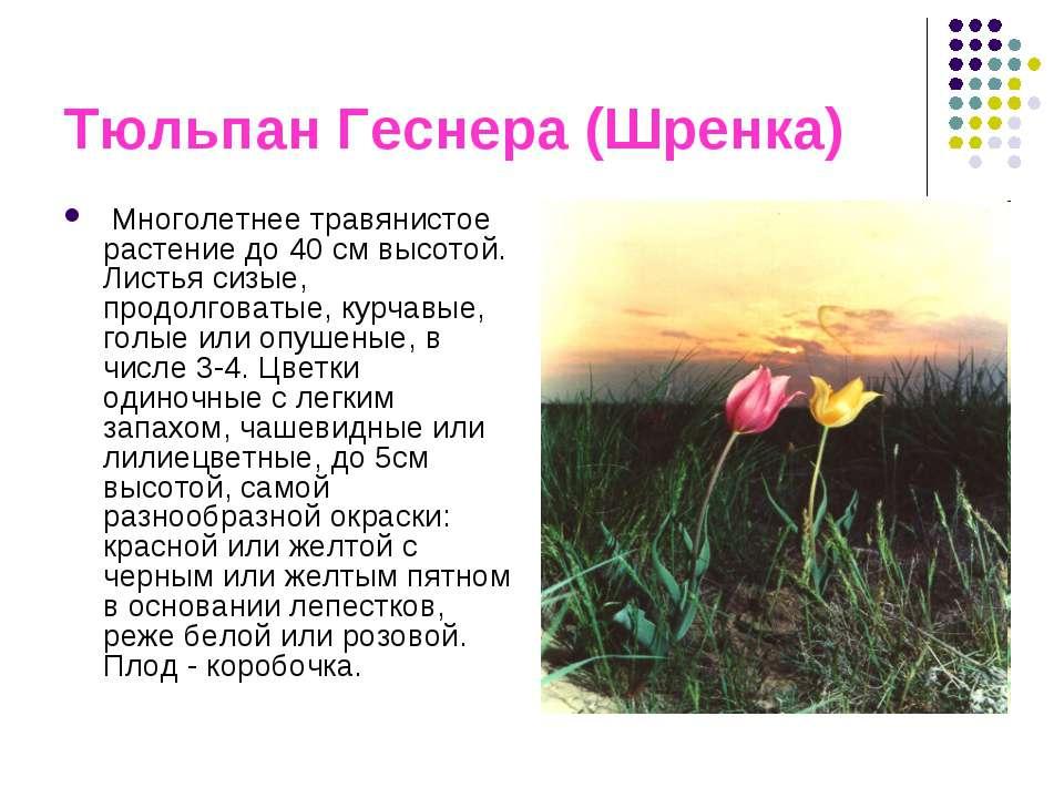 Тюльпан Геснера (Шренка) Многолетнее травянистое растение до 40 см высотой. Л...