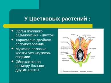 У Цветковых растений : Орган полового размножения - цветок. Характерно двойно...