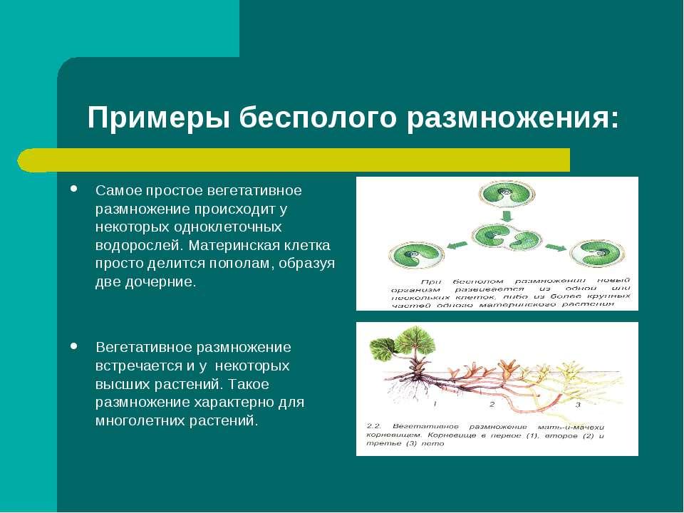 Примеры бесполого размножения: Самое простое вегетативное размножение происхо...