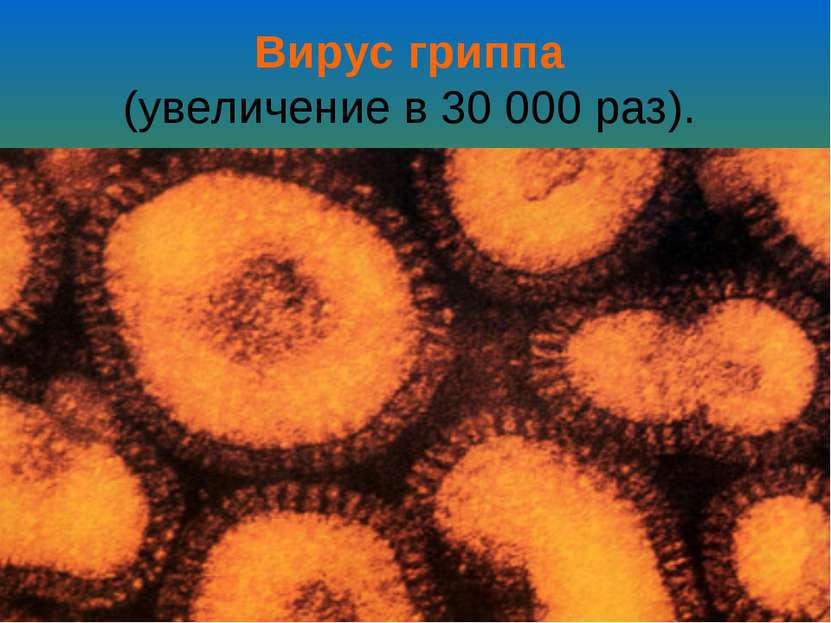 Вирус гриппа (увеличение в 30000 раз).