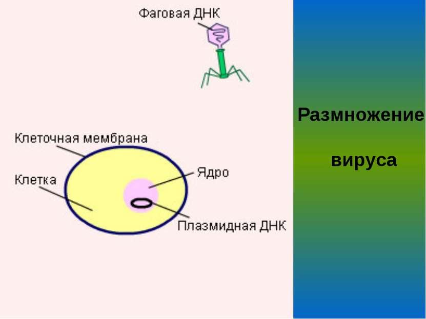 Размножение вируса