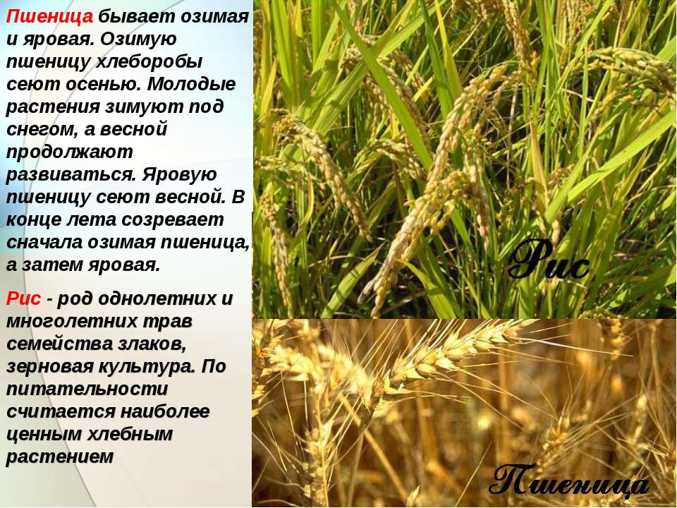 Пшеница бывает озимая и яровая. Озимую пшеницу хлеборобы сеют осенью. Молодые...