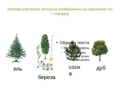 Назови растения, которые изображены на картинках по – порядку. ель береза сос...