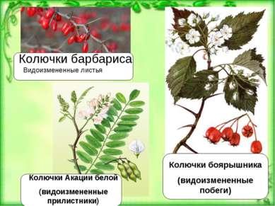 Колючки барбариса Видоизмененные листья Колючки боярышника (видоизмененные по...