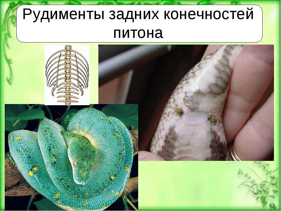 Рудименты задних конечностей питона