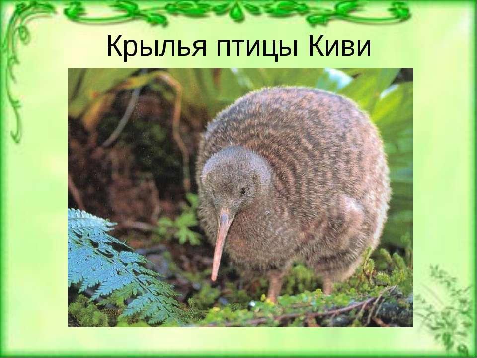 Крылья птицы Киви