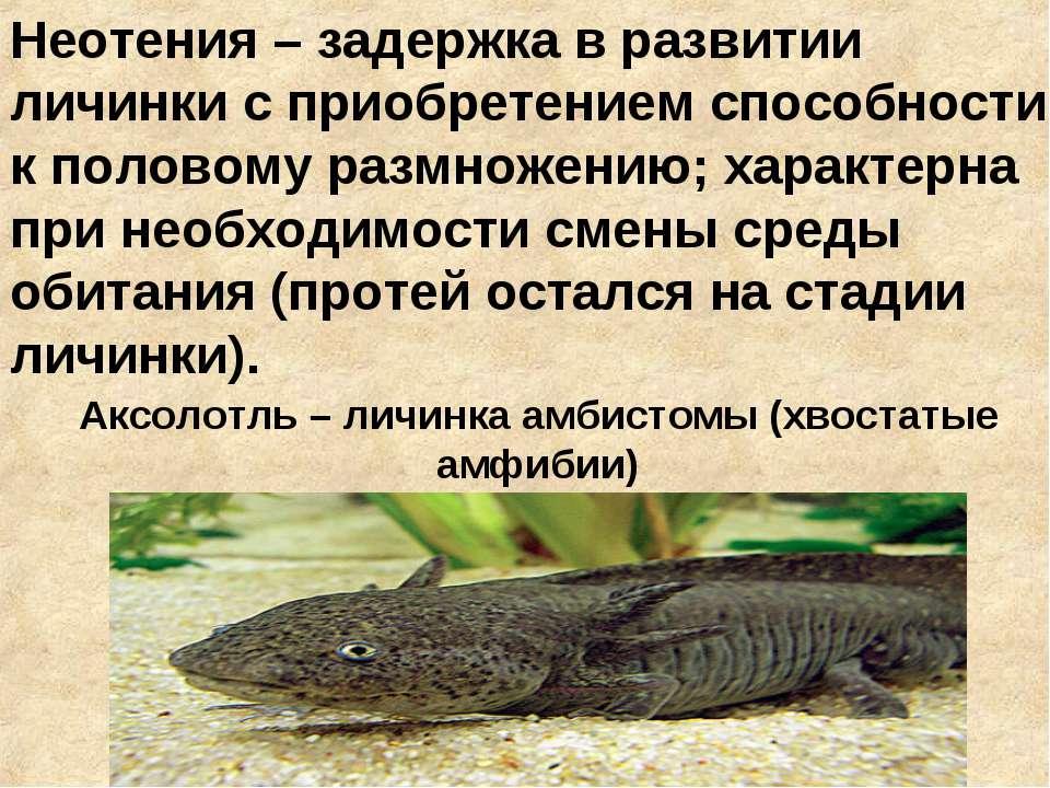 Аксолотль – личинка амбистомы (хвостатые амфибии) Неотения – задержка в разви...