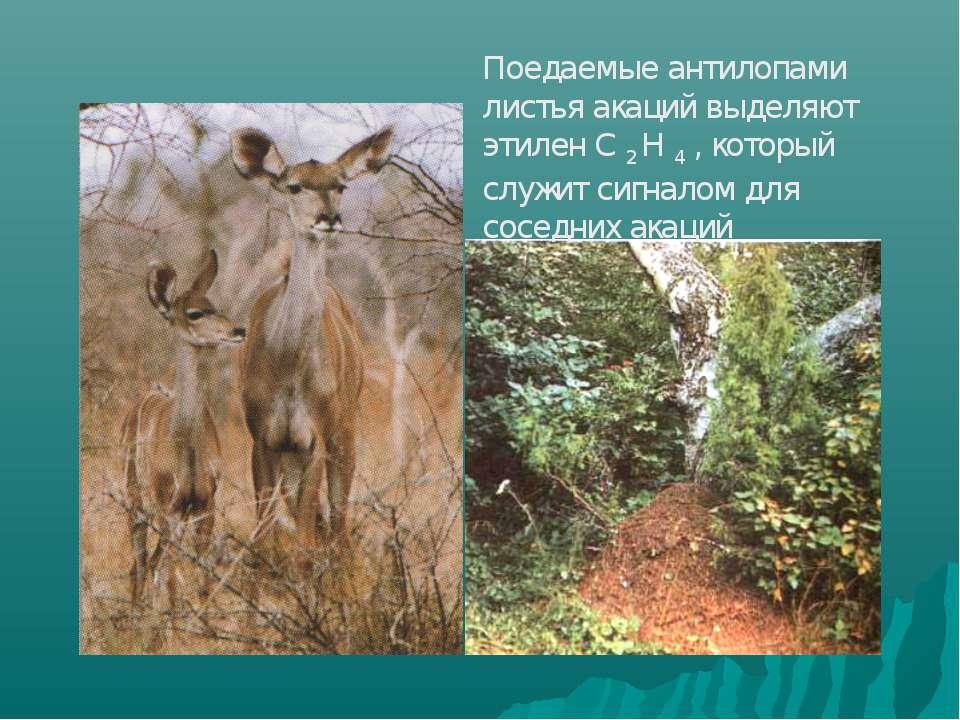 Поедаемые антилопами листья акаций выделяют этилен С 2 Н 4 , который служит с...
