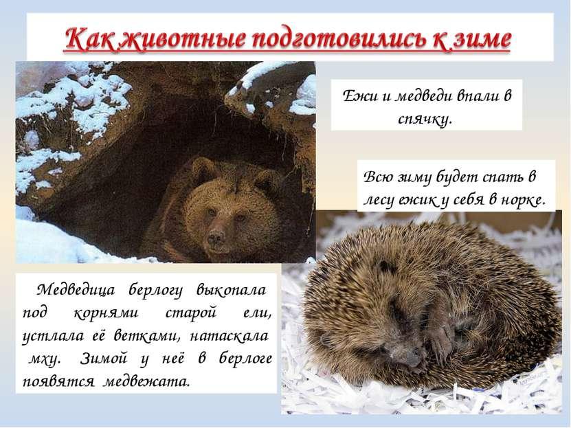 Медведица берлогу выкопала под корнями старой ели, устлала её ветками, натаск...