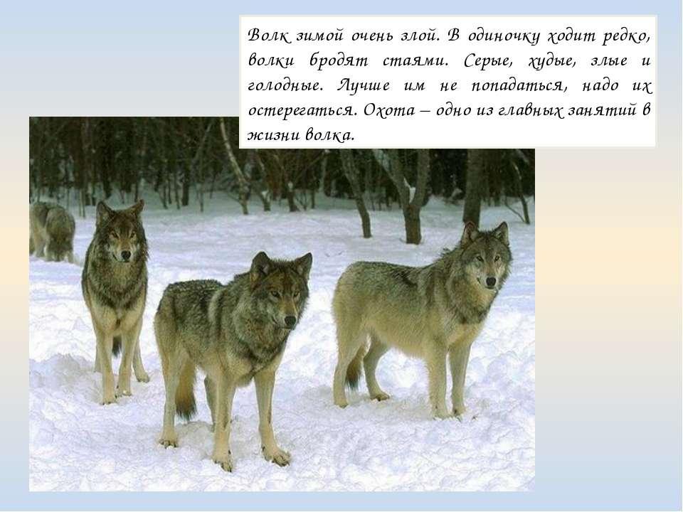 Волк зимой очень злой. В одиночку ходит редко, волки бродят стаями. Серые, ху...