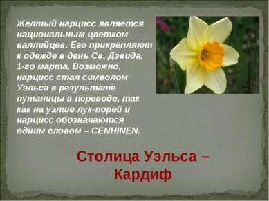 Желтый нарцисс является национальным цветком валлийцев. Его прикрепляют к оде...