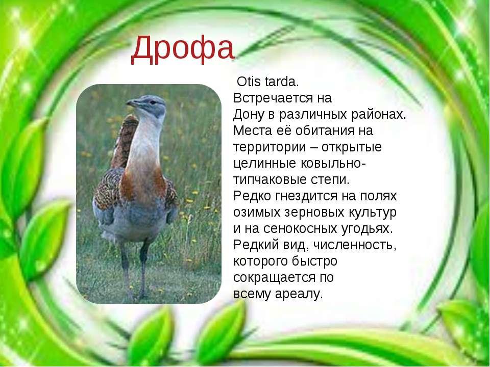 Дрофа Otis tarda. Встречается на Дону в различных районах. Места её обитания ...