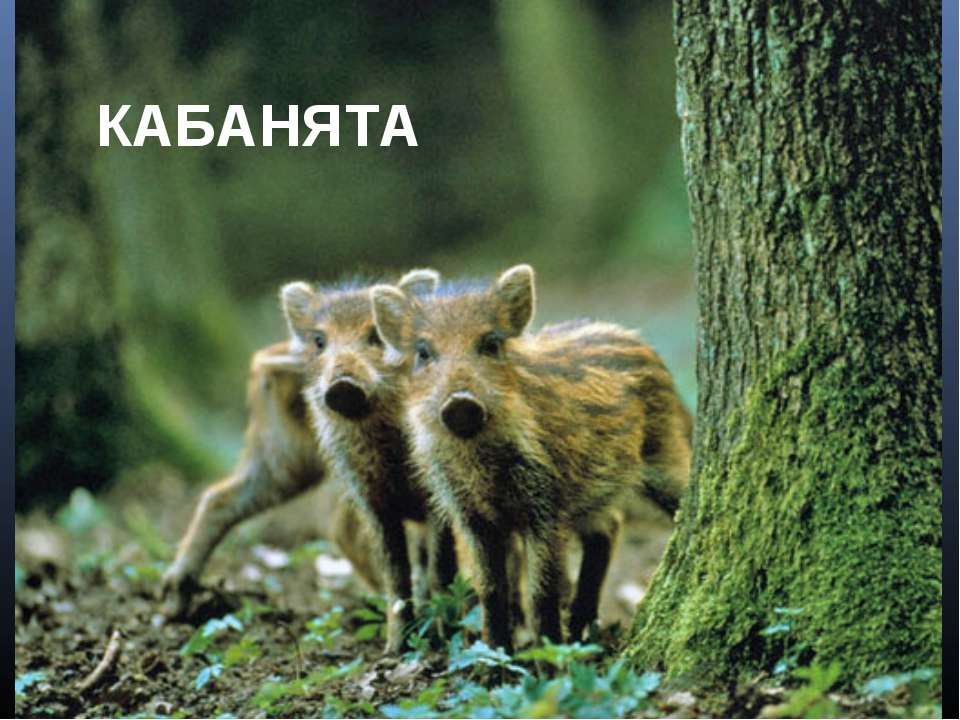 КАБАНЯТА