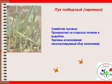 Лук победный (черемша) Семейство луковые. Произрастает на открытых полянах и ...