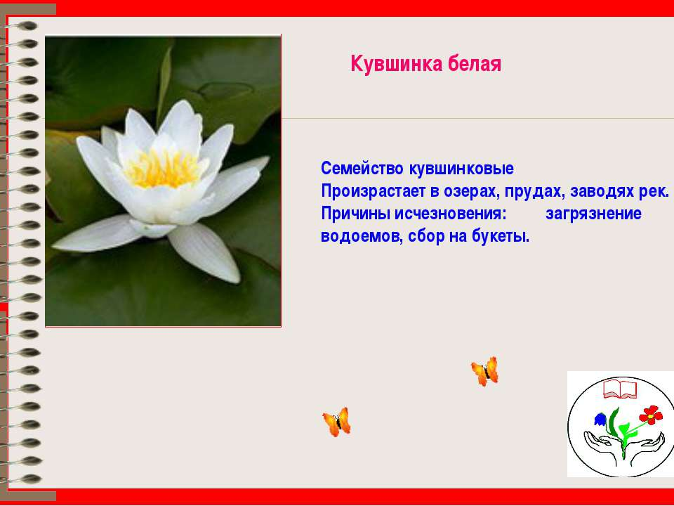 Кувшинка белая Семейство кувшинковые Произрастает в озерах, прудах, заводях р...