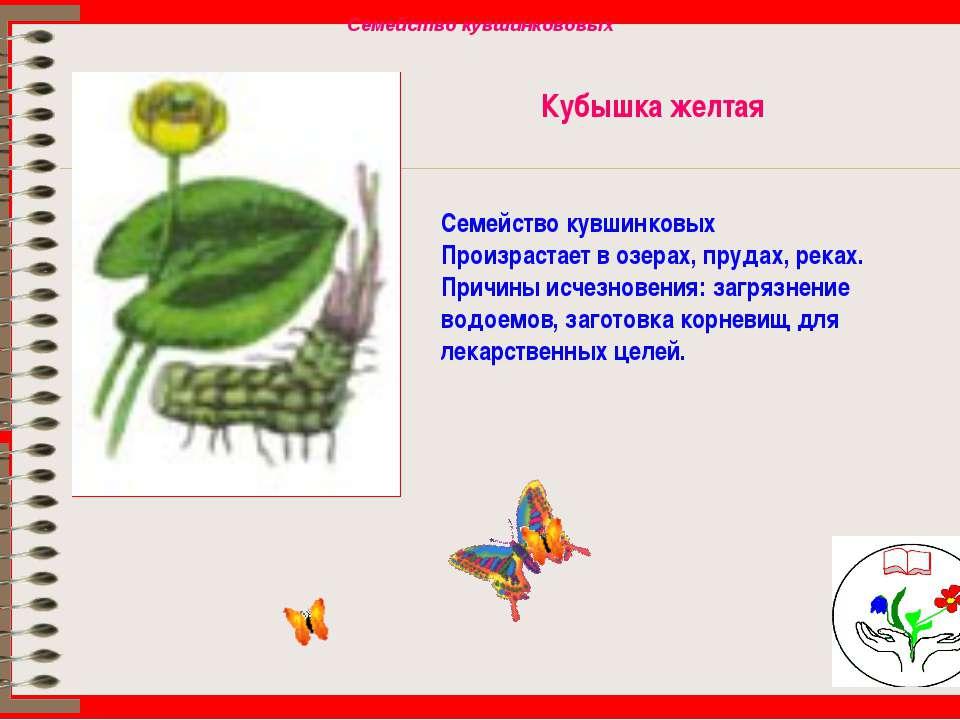 Кубышка желтая Семейство кувшинковых Произрастает в озерах, прудах, реках. Пр...