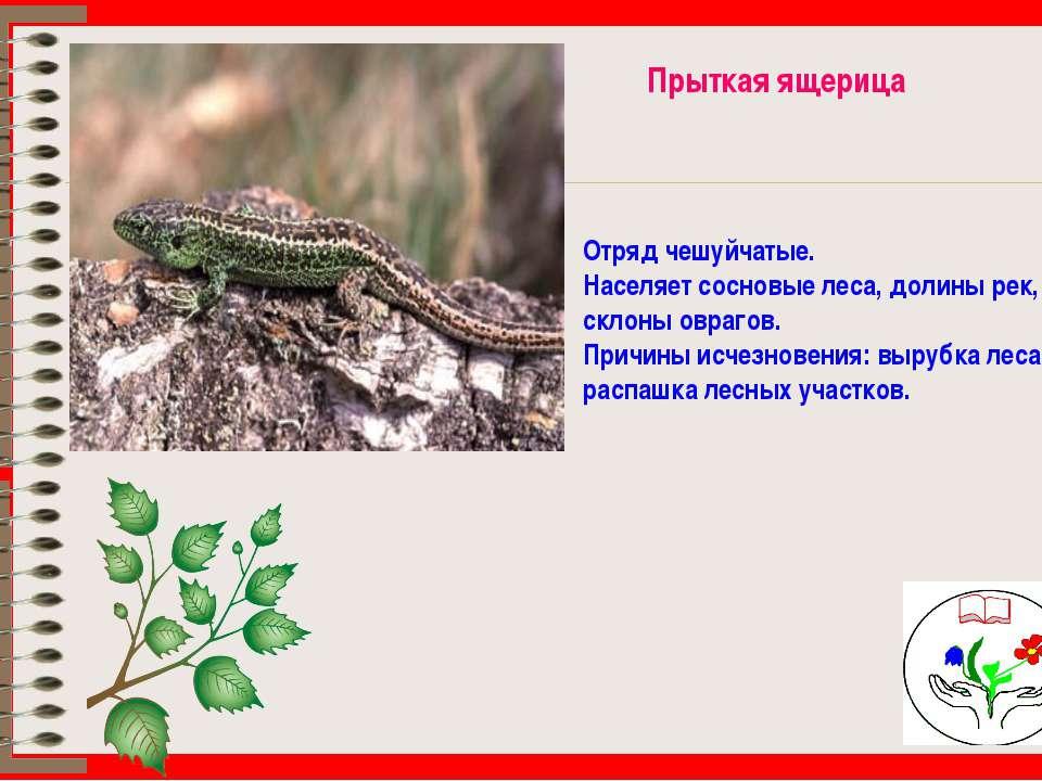 Прыткая ящерица Отряд чешуйчатые. Населяет сосновые леса, долины рек, склоны ...