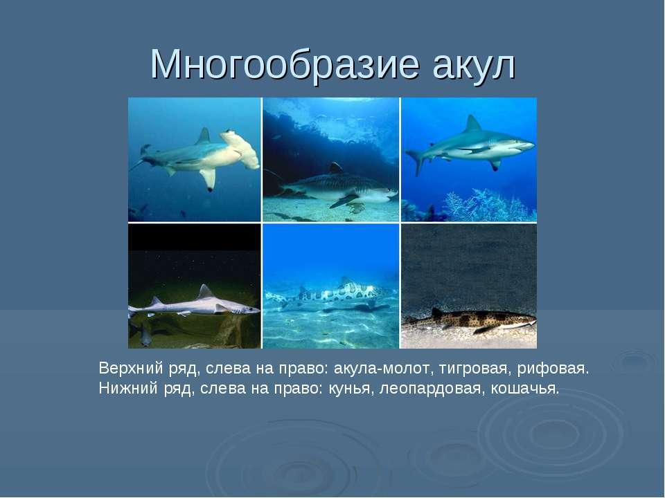 Многообразие акул Верхний ряд, слева на право: акула-молот, тигровая, рифовая...