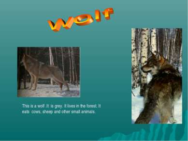 This is a wolf .It is grey. It lives in the forest. It eats cows, sheep and o...