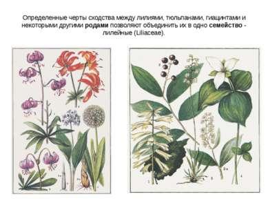 Определенные черты сходства между лилиями, тюльпанами, гиацинтами и некоторым...