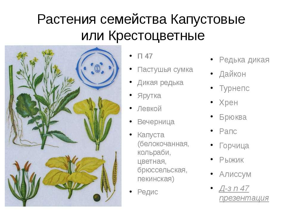 Растения семейства Капустовые или Крестоцветные П 47 Пастушья сумка Дикая ред...