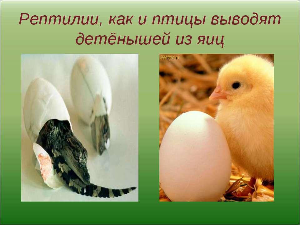 Рептилии, как и птицы выводят детёнышей из яиц