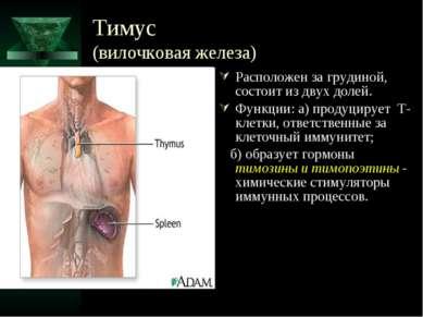 Тимус (вилочковая железа) Расположен за грудиной, состоит из двух долей. Функ...