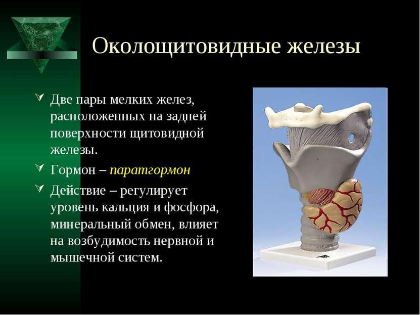 Околощитовидные железы Две пары мелких желез, расположенных на задней поверхн...