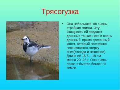 Трясогузка Она небольшая, но очень стройная птичка. Эту изящность ей придают ...