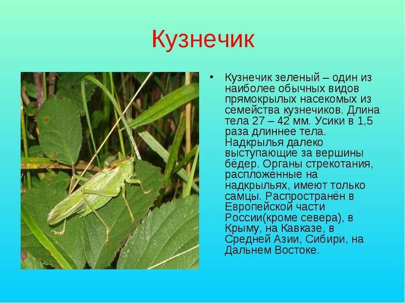 Кузнечик Кузнечик зеленый – один из наиболее обычных видов прямокрылых насеко...