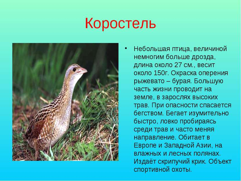 Коростель Небольшая птица, величиной немногим больше дрозда, длина около 27 с...