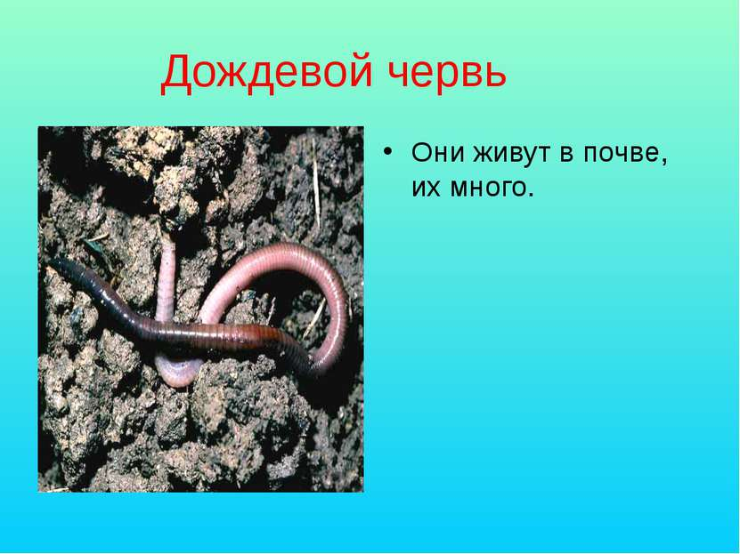 Дождевой червь Они живут в почве, их много.