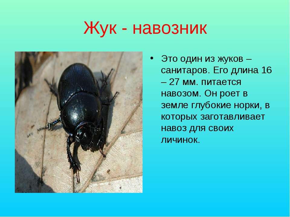 Жук - навозник Это один из жуков – санитаров. Его длина 16 – 27 мм. питается ...