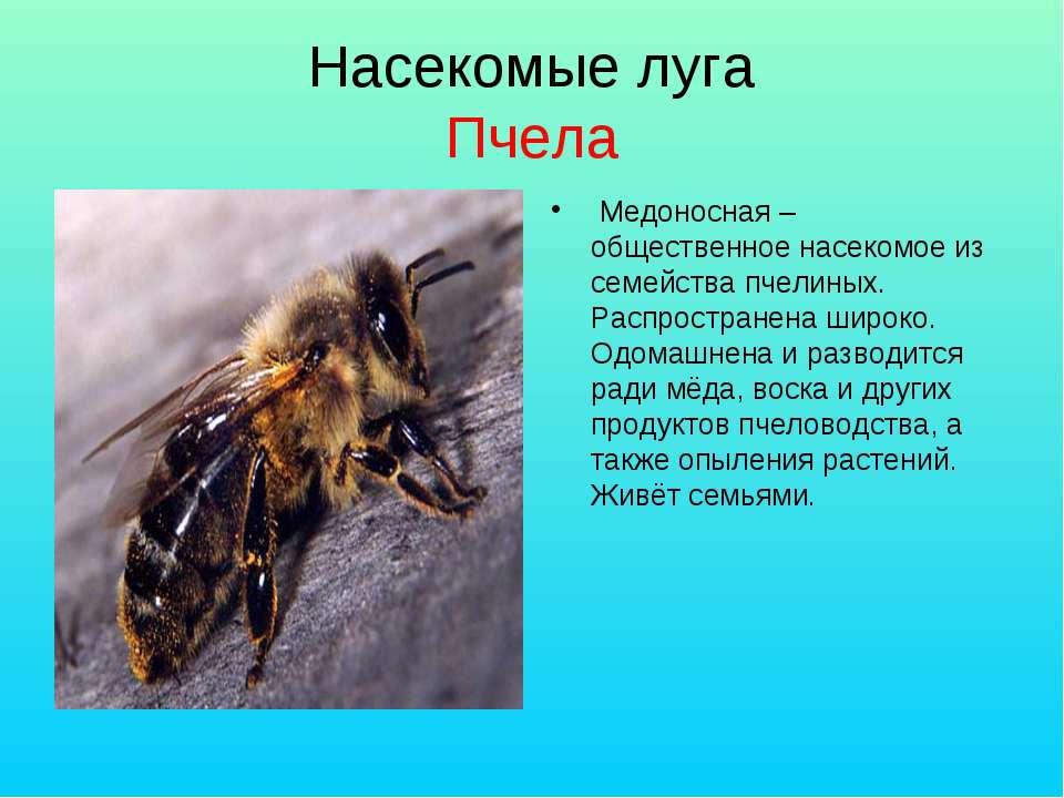 Насекомые луга Пчела Медоносная – общественное насекомое из семейства пчелины...