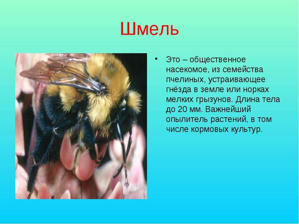 Шмель Это – общественное насекомое, из семейства пчелиных, устраивающее гнёзд...