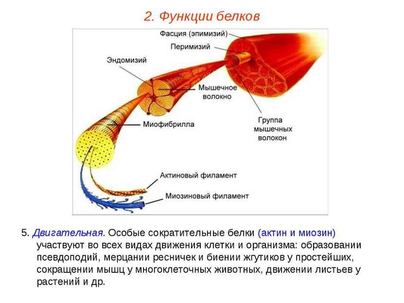 5. Двигательная. Особые сократительные белки (актин и миозин) участвуют во вс...
